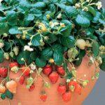 """Секреты разведения клубники : как создать """"ягодный конвейер"""""""