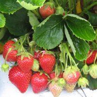плодово ягодные